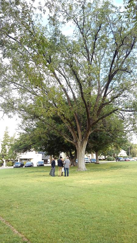 ピーカンナッツの木