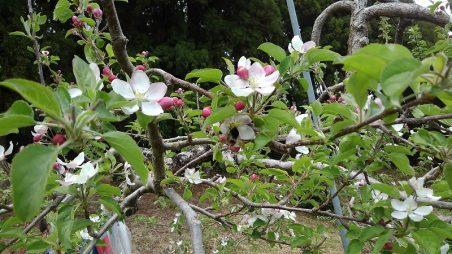 米崎りんごの花